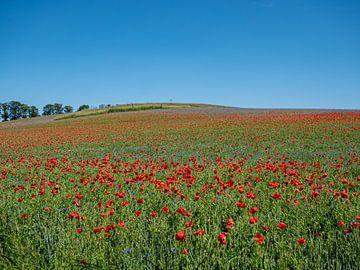 Mohnblumenfeld blüht in der Landschaft im Sommer von Animaflora PicsStock