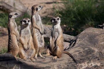 Schattige Afrikaanse dieren stokstaartjes (Timon) kijken aandachtig en nieuwsgierig. van Michael Semenov
