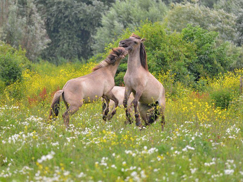 Stoeiende Konik paarden van Franciska de Vos