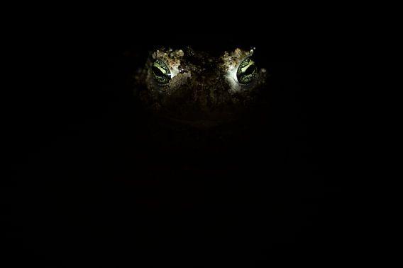 Ogen van de rugstreeppad van Douwe Schut