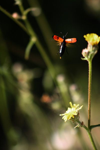 Blister Beetle van BL Photography