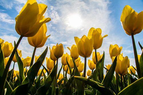 Gele tulpen in de zon