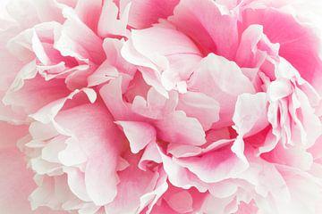 Haarscherpe close up van een roze pioenroos van Natascha Teubl