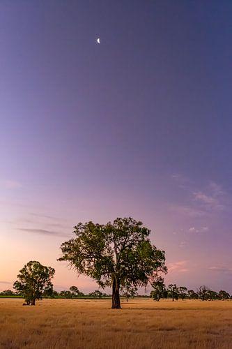 Halve maan boven de eucalyptus boom