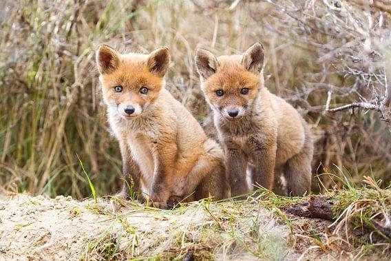 twee jonge vossen van Pim Leijen
