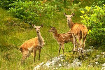 Edelherten in Schotland van Elke Molenaar