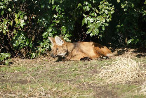 Luierende manenwolf