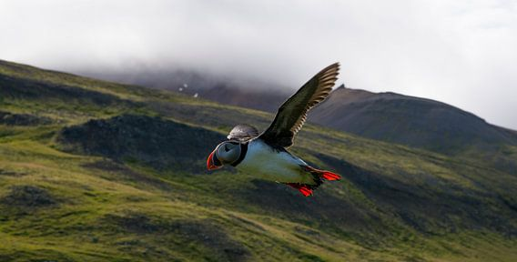 Papagaaiduiker IJsland
