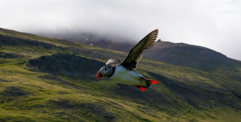 Papagaaiduiker IJsland van Kevin Pluk