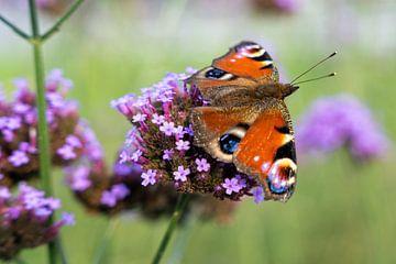 Mehrfarbiger Schmetterling (Aglais io) auf Blüte (Verbena bonariensis) von Lieven Tomme