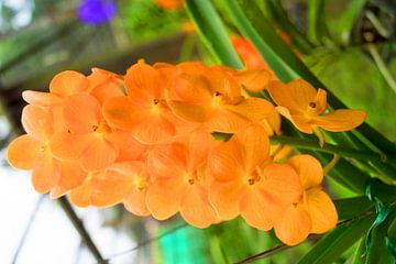 orangene orchidee in thailand von Babetts Bildergalerie