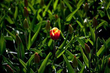 single tulip sur Ad van Geffen