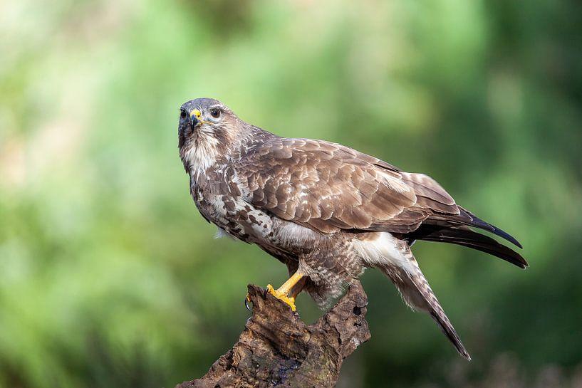 roofvogel in beeld de Buizerd van Björn van den Berg