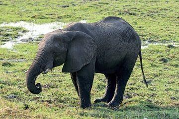 Elefant im Chobe-Nationalpark Afrika von Merijn Loch