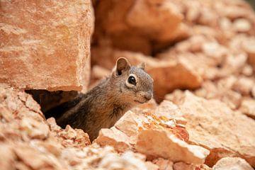 Das Eichhörnchen von Ton Tolboom