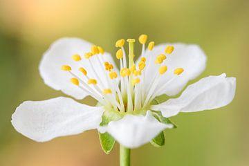 Plum blossom van Michael Valjak