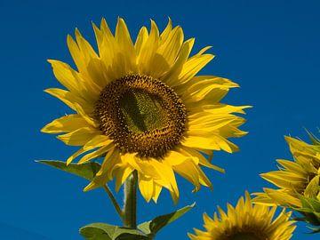 Zonnebloem van M  van den Hoven