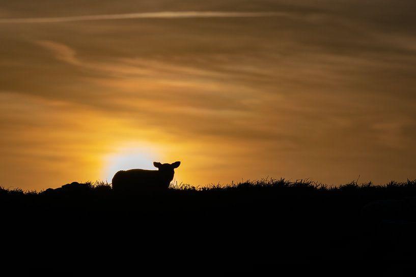 Lammetje Texel zonsondergang van Texel360Fotografie Richard Heerschap