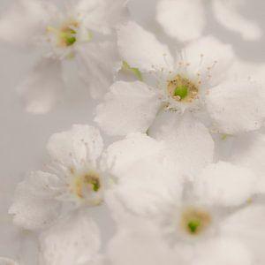 Witte bloesem met gele hartjes