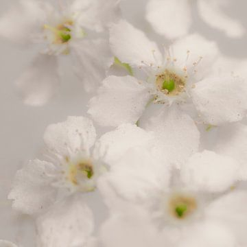 Witte bloesem met gele hartjes von arjan doornbos