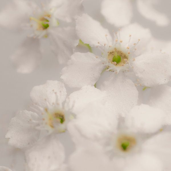 Witte bloesem met gele hartjes van arjan doornbos