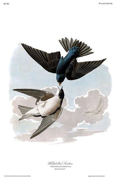 Boomzwaluw van Birds of America