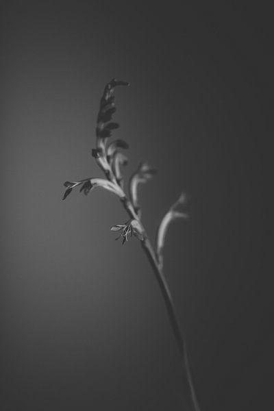 black flower van Carla Van Iersel