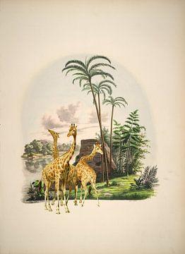 Giraffen im Tropenparadies