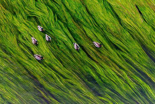 Eenden op een bedje van waterplanten van Marco Schep