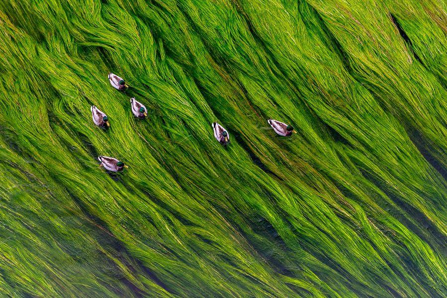 Eenden op een bedje van waterplanten