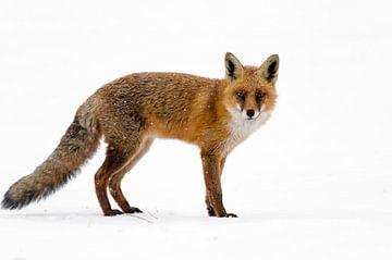 Rode vos in de sneeuw sur
