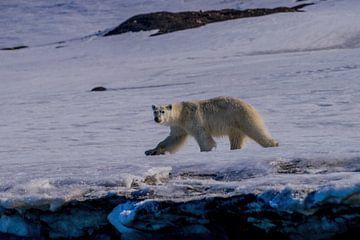 IJsbeer op jacht op Spitsbergen van Merijn Loch