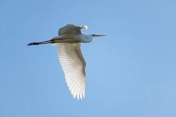 grote zilverreiger (Ardea alba), een grote witte reigervogel in de vlucht tegen de helderblauwe luch van Maren Winter