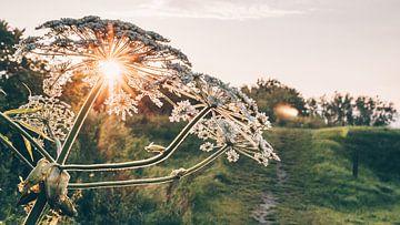 Sonnenuntergang hinter dem Bärenklau Blume von ElkeS Fotografie