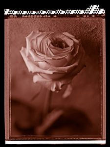 Polaroid Roos van Karel Ham