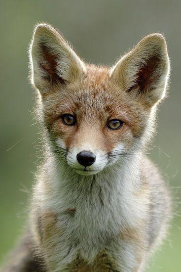 Portret van een jonge vos van Menno Schaefer