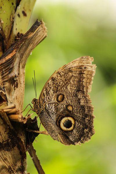 Vlinder op bananenboom van Geke Woudstra