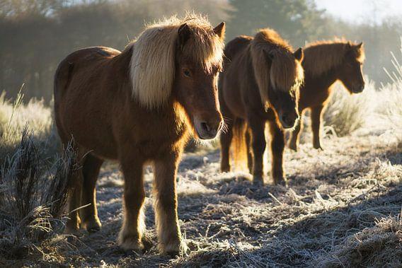 Paarden op de Posbank
