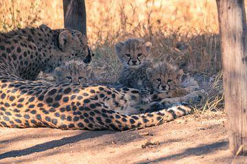 Cheetah welpen van Luuk Molenschot