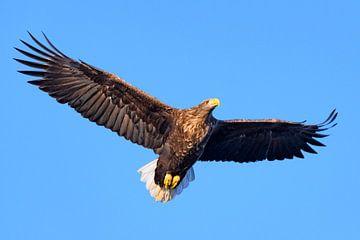 Seeadler oder Seeadler auf der Jagd am Himmel von Sjoerd van der Wal