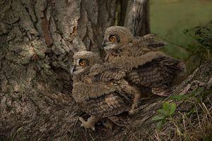 jonge uilen