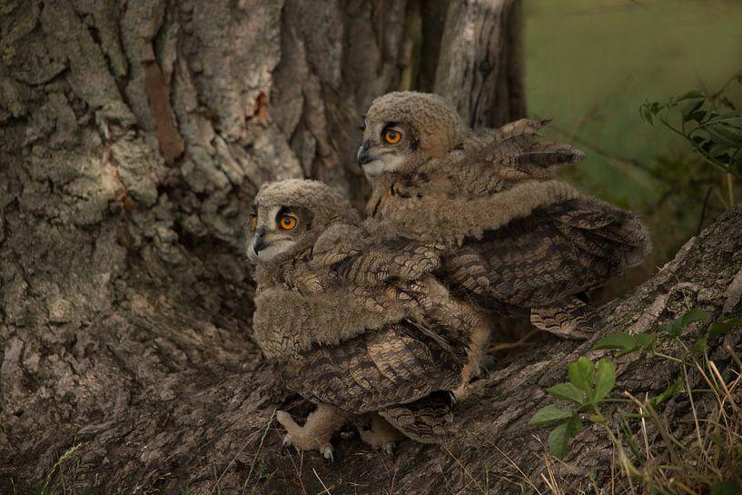 jonge uilen van hanny bosveld