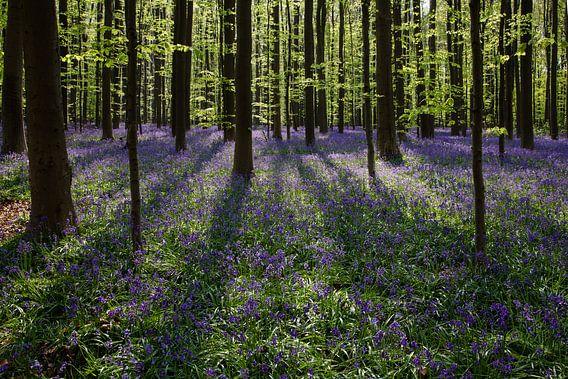 Wilde hyacinten in het Hallerbos