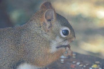Eichhörnchen von Susanne Seidel