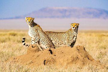 Cheetah's turen horizon af op zoek naar een prooi van Nico van Velden