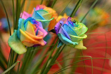 Regenboog Roos sur