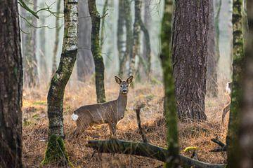 Ree in alerte houding in de Nederlandse bossen van Maarten Oerlemans