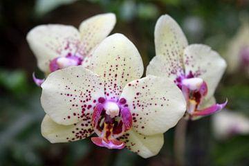 Drei Orchideen von Nicolette Vermeulen