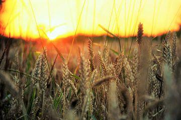 Graan bij zonsondergang von Evy Coppens