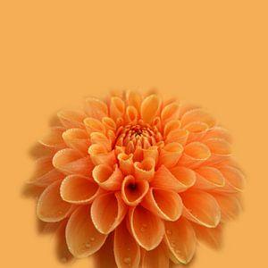 Oranje dahlia van Willeke Vrij